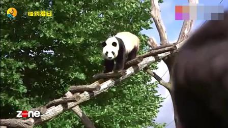看看出国的大熊猫,轻松获得自己的粉丝