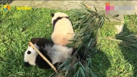 大熊猫玩竹竿,不小心掉下去了,奶妈笑得好开心!
