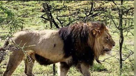 老虎和狮子隔网相对