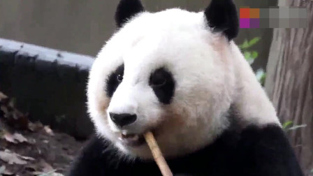 贪吃熊猫公主吃竹子,360度无死角很优雅
