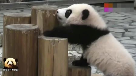 熊猫宝宝吃竹子,小不点儿太可爱了