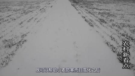 瑞雪兆丰年,大雪为什么不会冻死小麦,还能带来丰收?