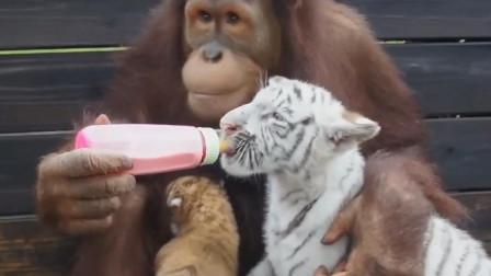 背景最硬的大猩猩,直接给4头老虎当妈,就问还有谁?