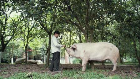 一只特立独行的猪,迎来了它的本命年