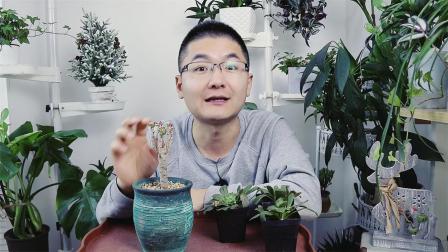 多肉植物扦插繁殖,20天后根系长满花盆,怎么做到的!