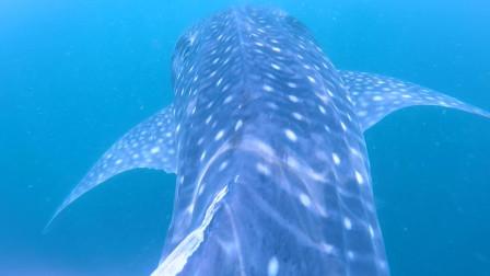 达拉湾潜水 1---卉遇见鲸鲨