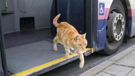 这只猫每天独自坐公交,司机每次都等它上车,到底什么原因?