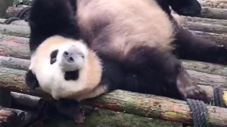 大熊猫奥利奥真的听的懂人话!被人夸长得帅,还有点得意