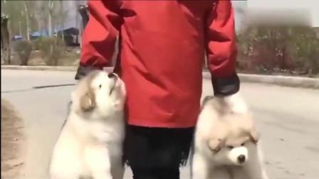 两只小阿拉斯加不愿意回家, 无奈主人只能拎着狗狗, 二哈一脸无奈