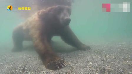 动物世界:实拍棕熊水下捕鱼画面,高清全过程