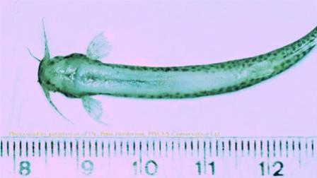 牙签鱼到底有过可怕?体型虽小但足以致命!