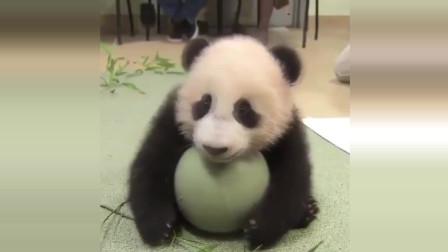 国宝大熊猫可爱搞笑视频