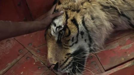 风暴过后,老虎奄奄一息将要死去,少年派伤心的哭了