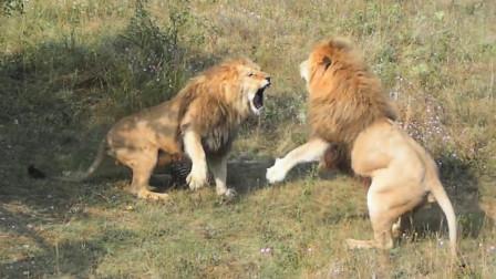 动物园里,几只雄狮闲来无事,上演雄狮大混战