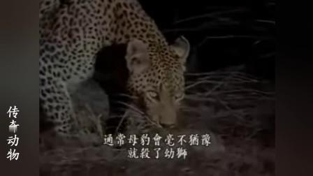 花豹没有伤害刚出生的小狮子, 却没能阻止它被鬣狗残害