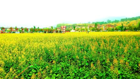 兰寨油菜花的海洋  广东旅游景点 云浮旅游景点 广东旅游推荐