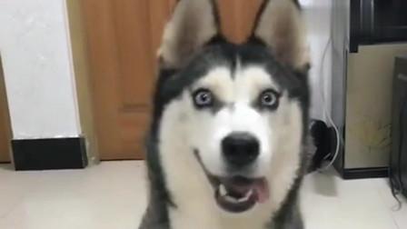 """主人叫二哈傻狗,不料它""""竟""""是这样的反应,真是太搞笑了!"""