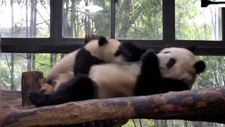 熊猫宝宝吃自助餐,熊猫妈妈感觉身体被吸干!