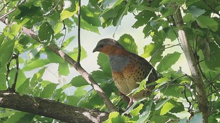 树上的竹鸡发出了警戒的声音,这种叫声你听过吗?