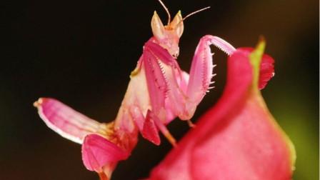 4种你从来没有见过的动物!比小姐姐还漂亮的螳螂?