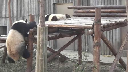 兩只熊貓打架,來了一只勸架的熊貓,結果下一秒集體笑趴!