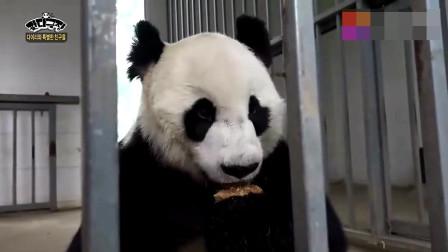 只能看却不能吃,这只熊猫真的是馋坏了,一直打滚
