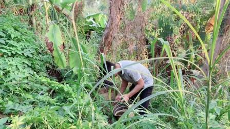 农村小伙分享诱蜂技巧,如何在野外(空手套白狼),收捕野生蜜蜂