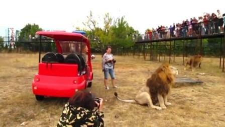 这就是战斗民族,被狮子怒吼挑衅,直接脱鞋正面刚,狮子:害怕!
