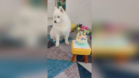 吃货萨摩耶猪卡卡自己吃完了一整块六寸的生日蛋糕!