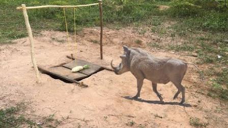 小哥野外抓黑毛猪,有了这个陷阱就是这样自信,一抓一个准儿!