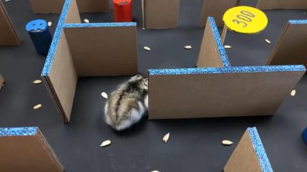 """仓鼠放进迷宫里""""上分"""",它能来个大满贯吗?"""