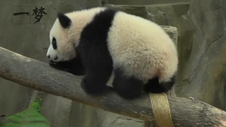 这一对大熊猫,为什么无法再回到祖国,让人遗憾