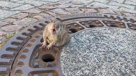 德国一老鼠因吃太胖被卡井盖惊动消防?#26412;?#21161;