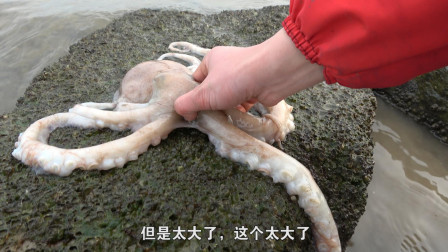 八爪鱼成精了趴在石头上晒太阳,刚退潮被赶海的大梅抓走了!