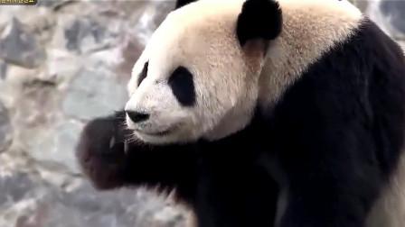一只会躲猫猫的熊猫,摄像机都拍不到它在哪里