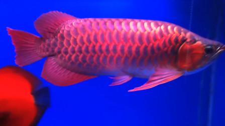 最贵的观赏鱼,一斤价值上百万,网友:又是土豪的气息!