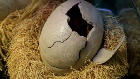 共同见证一只恐龙蛋破壳,当露出小脑袋那一瞬间,众人眼睛都直了