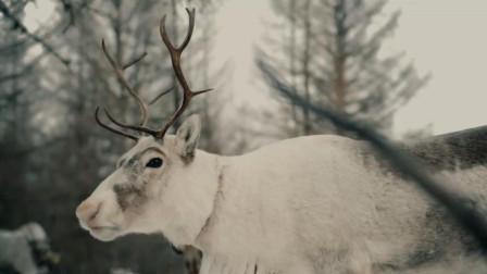 大兴安岭密林深处,藏着中国唯一的使鹿部落,也是最后的狩猎民族