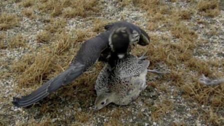 老鹰捕捉野鸡,在空中成功将野鸡抓捕,镜头拍下全过程