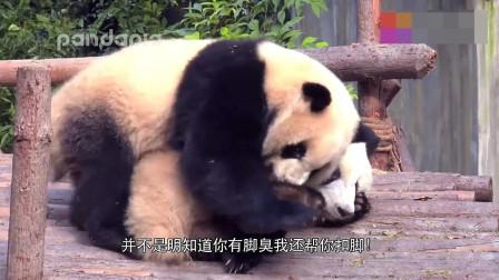熊猫宝宝大型撒欢现场,萌萌两脚兽!