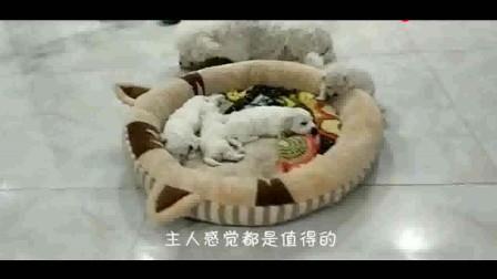 奇葩睡姿!好不容易给泰迪装了新床,怎么就睡成了这样?