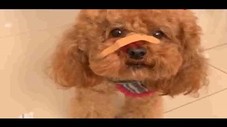 泰迪被毛孩揍了,邻居来看它没拿好吃的,竟跟主人发脾气,太逗了