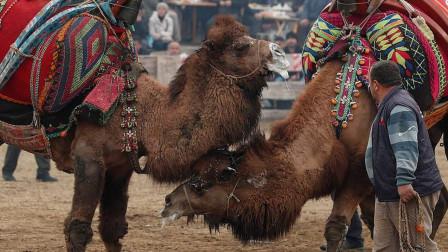 """土耳其举办骆驼摔跤大赛,骆驼成为""""摔跤手"""",公骆驼为爱而战!"""