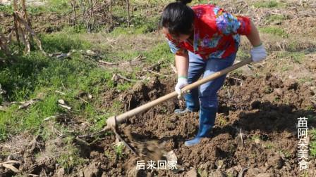 苗大姐下地挖地播种,草太高割了喂鸡,还挖到了宝够一餐