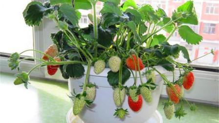 草莓不用花钱买,教你在家种出来,方法超简单,红果多的挂满盆