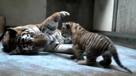小老虎太淘气,竟把虎妈惹生气了,虎妈这样教育它有用吗
