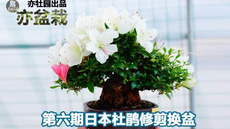 第六期日本杜鹃盆景——皋月的枝条修剪与换盆(如果要观花请花后操作)