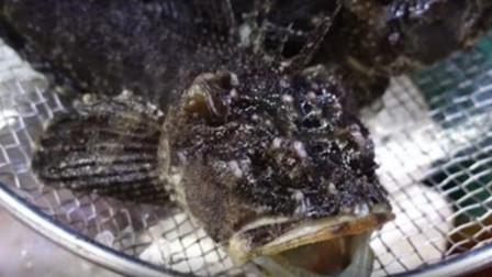 罕见丑的鱼,日本人竟然将它切开直接生吃,鱼肉全程都晃动