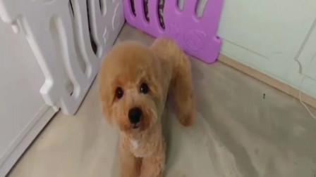 可爱的贵宾犬毛修得圆圆的真好看