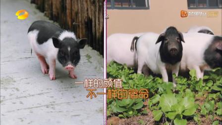 傅园慧不认识小香猪,以为是金华两头乌,直言它的肉很好吃